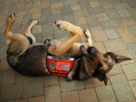 Pets War Dogs